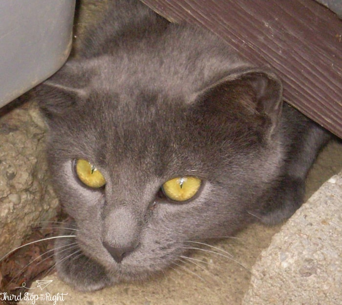 Feral Cat Under Shed