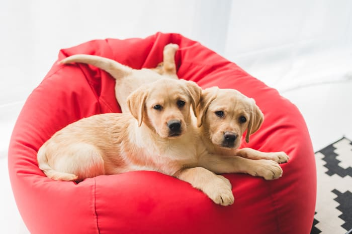 Rehome Labrador Puppies With Get Your Pet