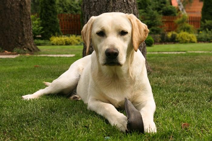Get Your Pet Adopt Labradors