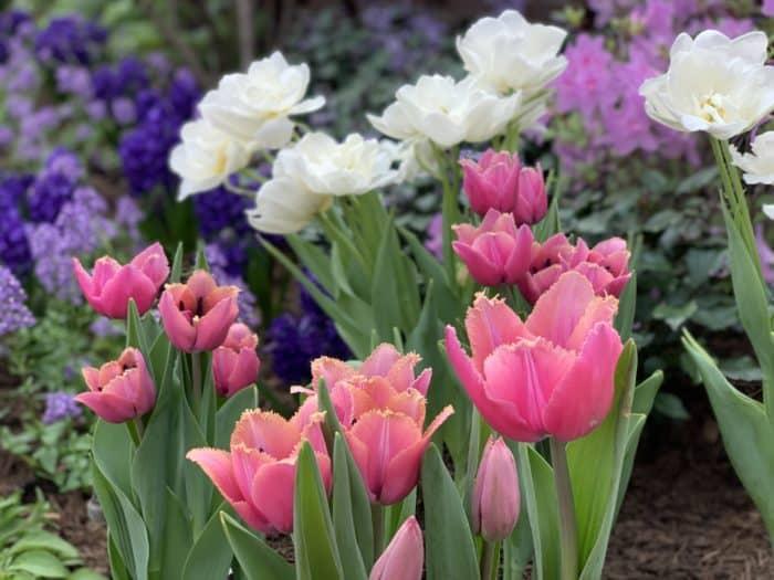 Tulips bloom in Phipps Serpentine Room.